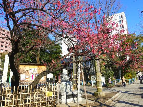 品川区 荏原神社 カンヒザクラ