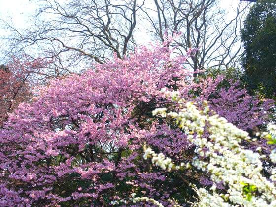 ヨウコウ 桜