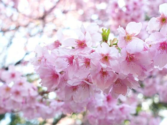 新宿御苑 桜 見頃