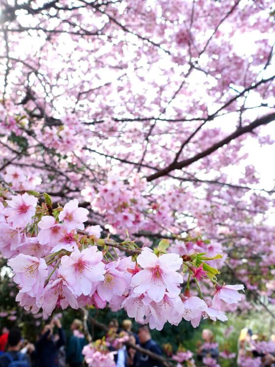 新宿御苑 お花見