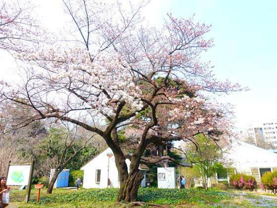 ウコンザクラ 新宿御苑