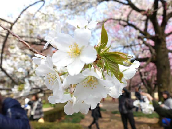 オオシマザクラ 新宿御苑