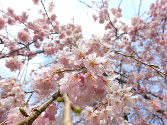 新宿御苑 桜 開花状況