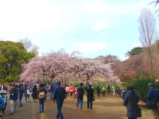 枝垂れ桜 新宿御苑