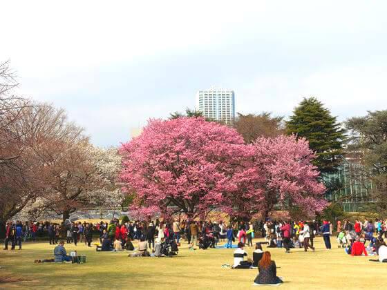新宿御苑 丸花壇 桜