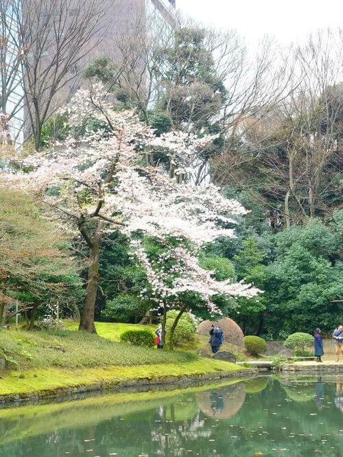 ソメイヨシノ 小石川後楽園