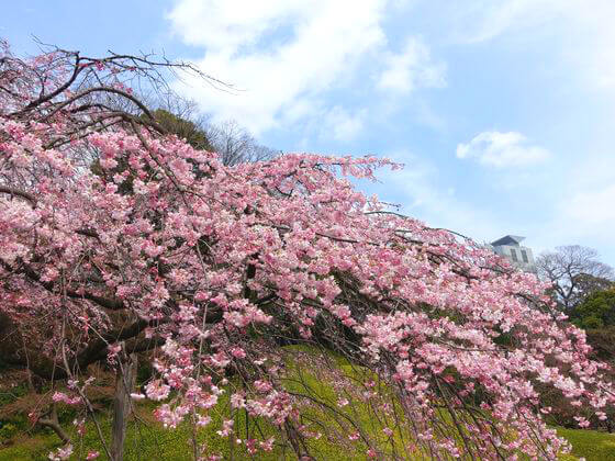 小石川後楽園 桜 開花状況