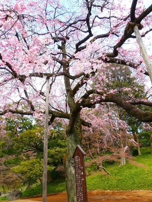 枝垂桜 小石川後楽園