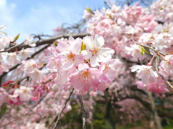 小石川後楽園 桜 見頃