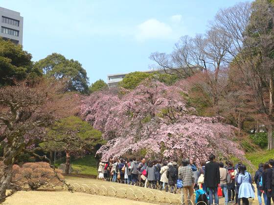 小石川後楽園 枝垂桜