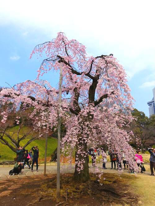 小石川後楽園 馬場桜