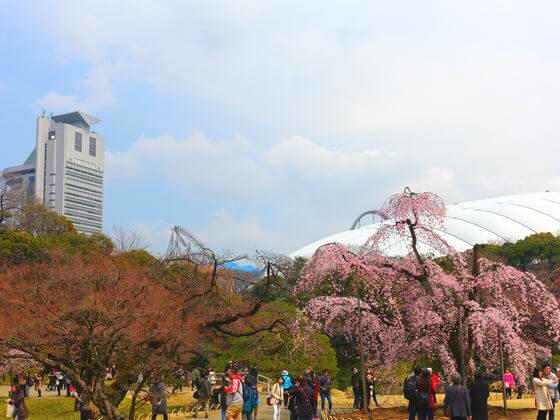 小石川後楽園 お花見