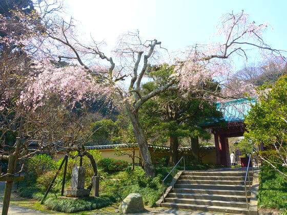 光則寺 枝垂れ桜
