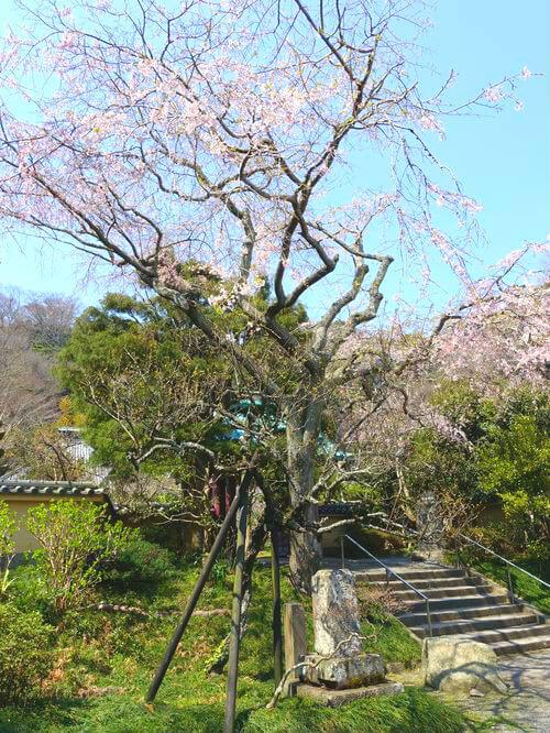 鎌倉 光則寺 枝垂れ桜