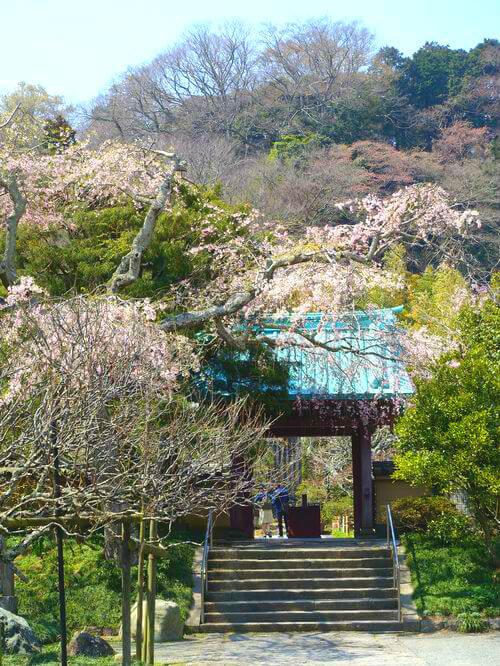 鎌倉 光則寺 しだれ桜