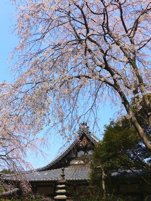 鎌倉 安国論寺 枝垂れ桜