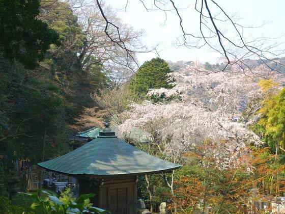 安国論寺 桜