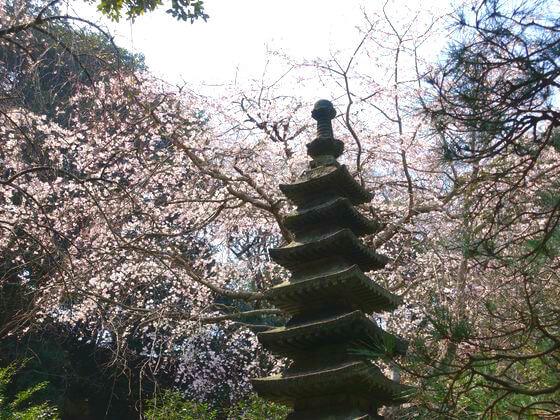 安国論寺 枝垂れ桜