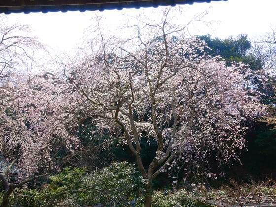 鎌倉 安国論寺 シダレザクラ