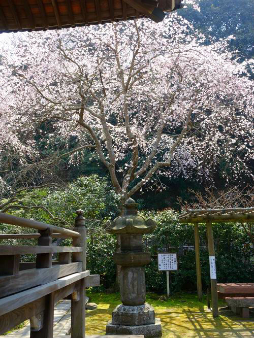 鎌倉 安国論寺 しだれ桜