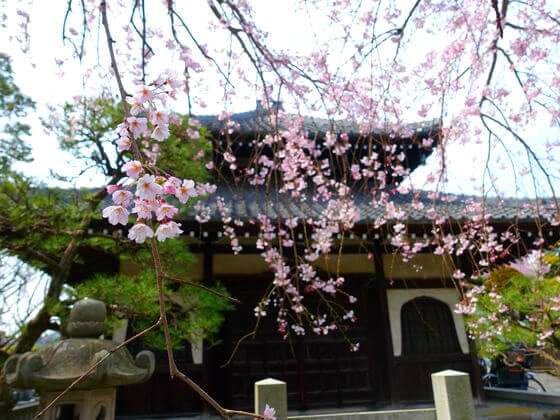 鎌倉 本覚寺 お花見