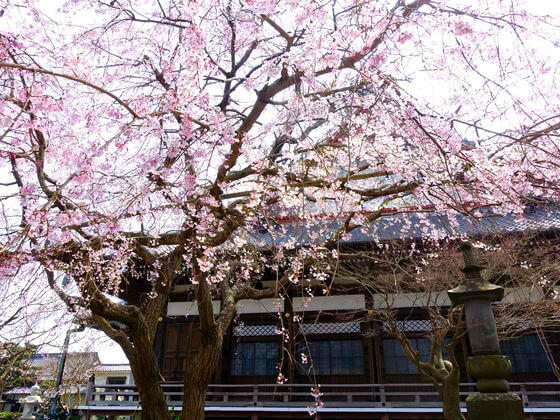 鎌倉 本覚寺 枝垂れ桜