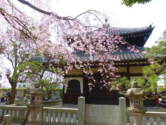 本覚寺 シダレザクラ