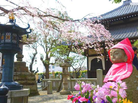 本覚寺 桜