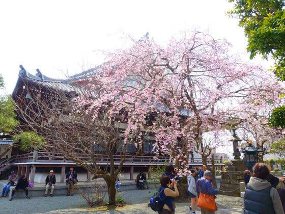 鎌倉 本覚寺 しだれ桜