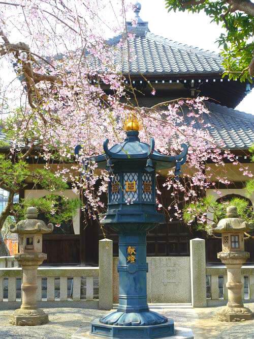 本覚寺 しだれ桜