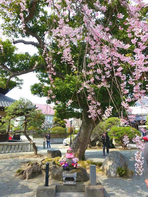 本覚寺 枝垂れ桜