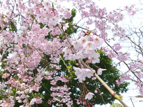 本覚寺 枝垂桜