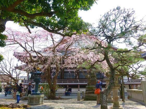 鎌倉 本覚寺 枝垂桜