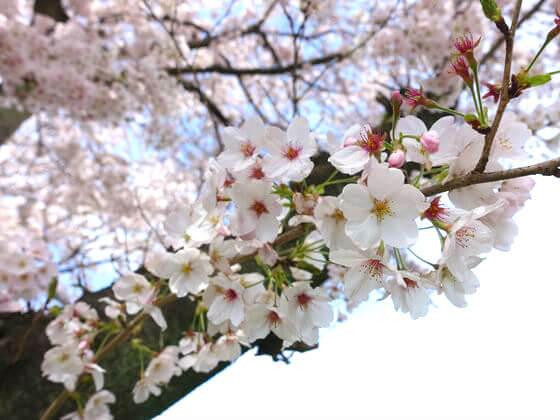 日高市 巾着田 お花見