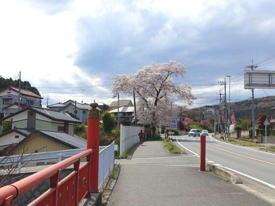 埼玉 巾着田 桜