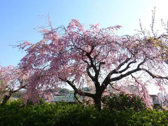 二宮町 吾妻山公園 桜