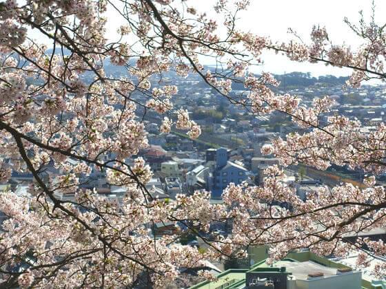 湘南 吾妻山公園 桜