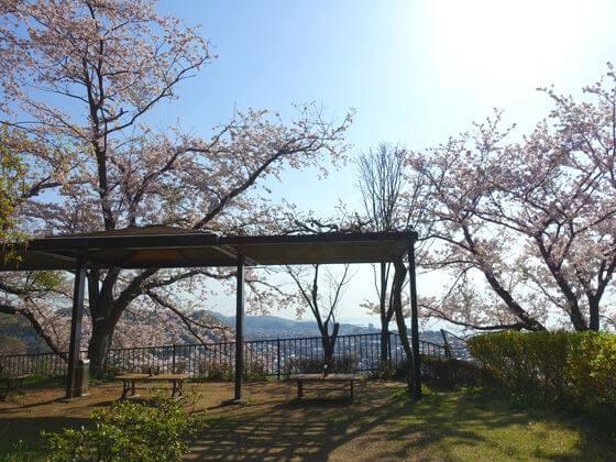 二宮 吾妻山公園 桜