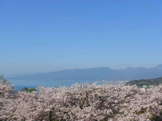 吾妻山公園 桜 海