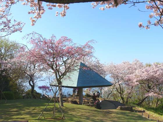吾妻山公園 お花見