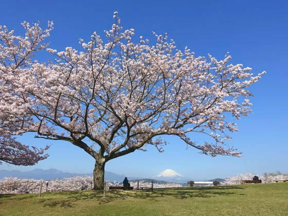 吾妻山公園 桜