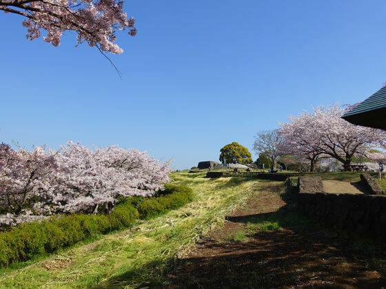 吾妻山公園 桜 開花状況