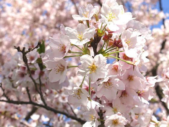 吾妻山公園 桜 見頃