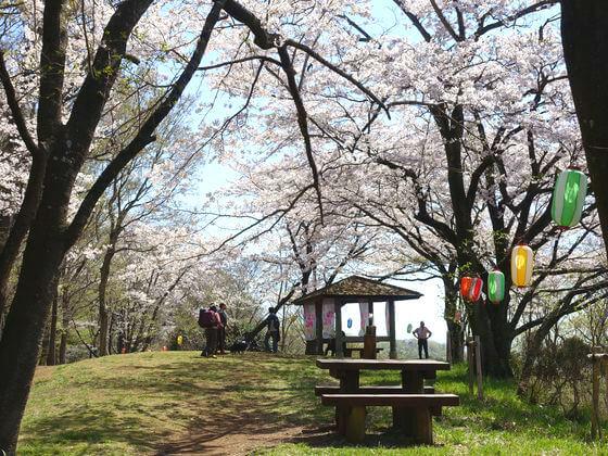 弘法山 桜