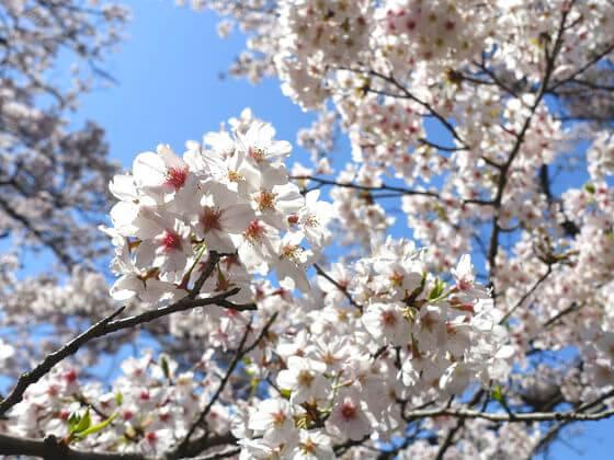 弘法山公園 桜 開花状況