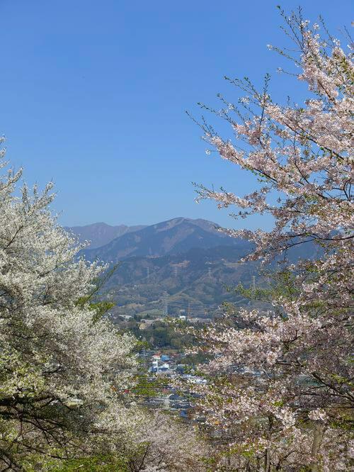 弘法山公園 ソメイヨシノ