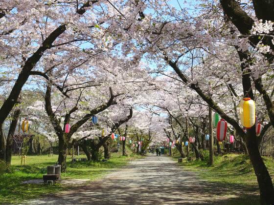 弘法山公園 桜 見頃