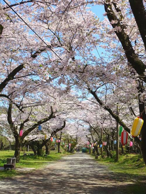 馬場道 桜