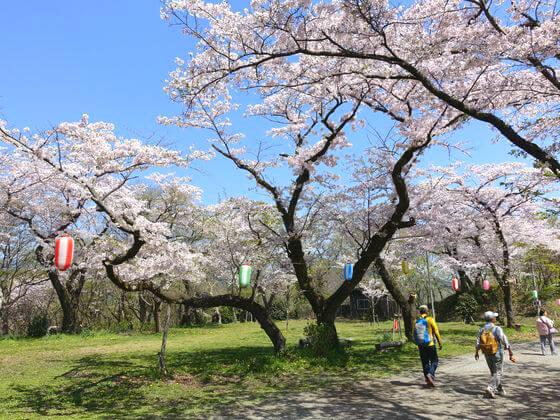 弘法山 馬場道 桜