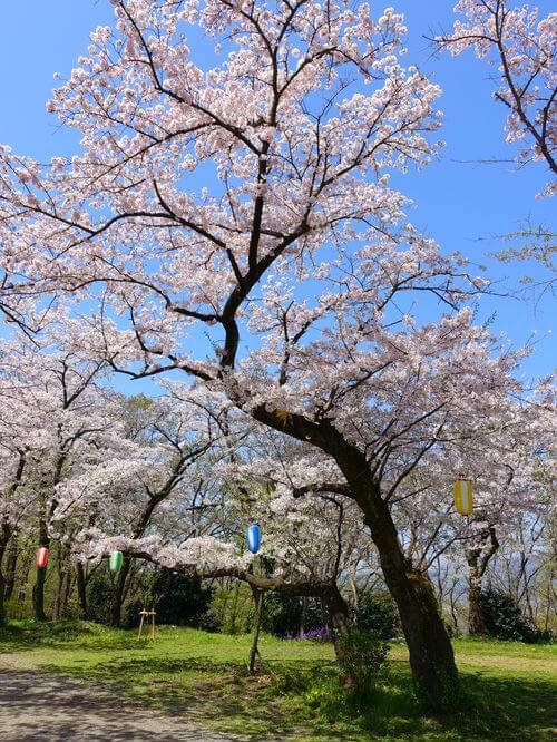 弘法山公園 馬場道 桜